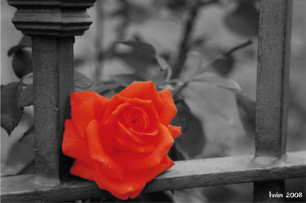 Rosa con color