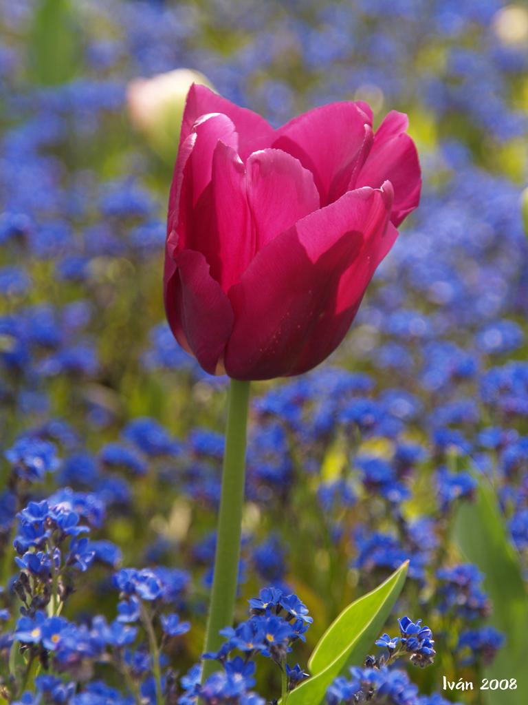Tulipan belga